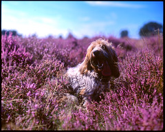 Grand Basset Griffon Vendeen in the Heather (Roesmeister) Tags: fuji velvia 100 pentax 67 takumar 105 smc f24 heather grand basset griffon vendeen