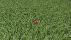 Eenzame tulp (engelsejann) Tags: bloem landschap tulp