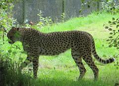 CHEETAH (d p hughes) Tags: cheetah bigcat mammals wildlife felines nature chesterzoo outdoor colour cheshire