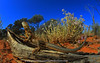 On that glorious day.. (Rob Valentic - Gondwana Reptile Productions) Tags: wactenophorus reticulated westernaustralia mulgareptiles mulgalandsreptiles acaciashrubland acaciaaneura canoneos5dmark3 sandandsky sandplain iconicaustralianlandscape iconiclizard spectacularaustralianlizards desertlizards aridaustralianreptiles westernnetteddragon australianlizards wagoldfieldsreptiles leitax rollei16hft wideanglelizard wideanglereptiles fisheyezeiss ctenophorusreticulatus robvalentic vintagelens stonydesert manuallens oldlensnewcamera basking agamidae qbm distagon rolleicarlzeissdistagon1628qbm