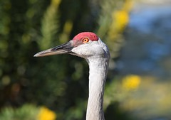 Sandhill Crane (careth@2012) Tags: sandhillcrane nature wildlife