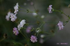 """Gypsophylla repens """"Rosenschleier"""" (Greet N.) Tags: gypsophyllarepens rosenschleier flowers pink white garden september macro"""