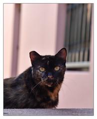 Street Gato - Old San Juan, Puerto Rico (GAPHIKER) Tags: oldsanjuan sanjuan puertorico street gato pussycat cat kitty pink