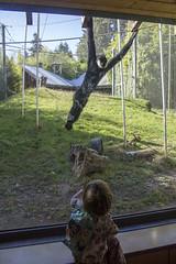 Two little monkeys (quinn.anya) Tags: sam toddler monkey zoo swinging whitecheekedgibbon pointdefiancezoo