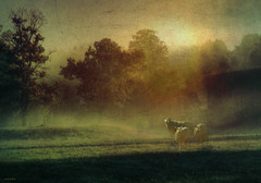 ...lonesome morning... (xandram) Tags: fog mist sheep trees morning texturesmyown photoshop