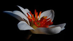 Bloodroot Art (Patti Deters) Tags: flower bloodroot white ephemeral stamens petals woodland close macro spring bloom blossom flowering blackbackground black orange pretty horizontal lobby office design interiordesign art pattideters