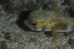 giant porcupine fish (b.campbell65) Tags: animal coral coralhead dive island isolated marine nature ocean pufferfish reef scuba sea seascape swim travel tropical underwater water wild wildlife