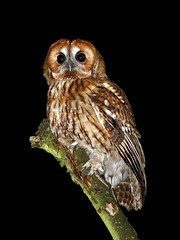 Tawny Owl 1 (trickydicky1964) Tags: wild summer bird nature birds night countryside wildlife north norfolk explore heath 7d owl british nightshots 2012 tawny heathland site1 canonspeedlite430exii sigma150500mmf563dgoshsm glavenvalley trickydicky1964