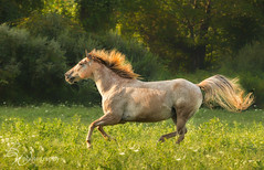 on the run (betty wiley) Tags: summer horse green tail running wildflowers arabian mane backlighting roan