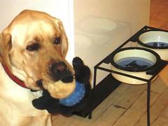 7915344162 a4681fe7a9 m Hercules, Photos of my fun Yellow Labrador
