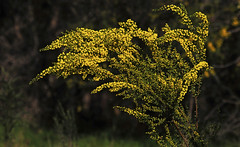 Yellow Wattle : Spring morning . . . (Clement Tang ** Busy **) Tags: morning nature floral spring australia victoria yellowflower closetonature yellowwattle concordians acaciaflavescens candlebarkpark