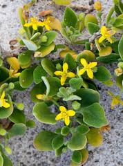 Tetragonia implexicoma - Ice-plant (Bill Higham) Tags: plant flower yellow native australia iceplant tasmania herb cliftonbeach aizoaceae canon100mm tetragonia canon5dmkii tetragoniaimplexicoma