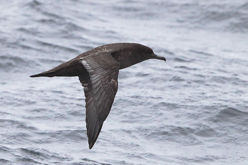 <p>The Sooty breeds in New Zealand and Chile, although a generalist in food habits, it is more likely to rely on small bait fish (anchovies for example) than the previous two shearwaters. This one has just finished replacing its feathers and has a curious greyish tone to the wings that disappear as they wear. </p>