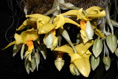"""orchid """"stanhopea oculata"""" (GE fotography) Tags: uk england orchid yellow nikon unitedkingdom surrey orchidaceae stanhopea hanging nikkor f11 wisley rhs iso160 27mm 160s occulata d7000 18to200"""
