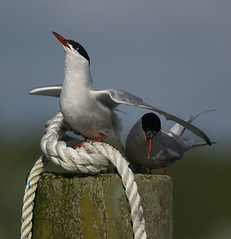 I'm the king of the world! (Jaedde & Sis) Tags: two birds rope pole potofgold terns bigmomma gamewinner terner potofgold2 challengeyouwinner 3waywinner 15challengeswinner favescontestwinner challengegamewinner fotocompetition fotobronze fotocompetitionbronze gamex2winner herowinner storybookwinner mygearandme mygearandmepremium mygearandmebronze mygearandmesilver gamex3winner pregamesweepwinner pregameduelwinner favescontestfavored challengeclubwinner