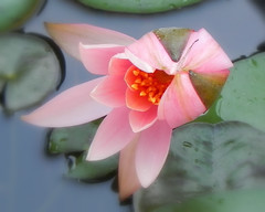 Lotus ...sweet Lotus... (The Dolly Mama) Tags: summer flower pond texas lotus houston explore sept 2012
