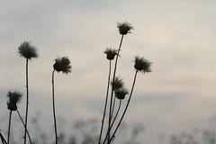 28/52 - Shriveling Summertime (jennapeep) Tags: light summer flower beautiful dead soft seeds hazy dandelions