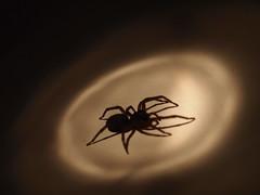 Spooky (Raccoon Photo) Tags: lighting light shadow bug dark insect found star spider scary shadows legs ominous eerie spotlight creepy spooky flashlight eep caughtintheact eek dim creepycrawler 8legs dimlighting staroftheshow inthespotlight
