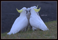 Let's have a meeting (loobyloo55) Tags: bird nature fauna wildlife australia cockatoo floraandfauna allofnatureswildlifelevel1 allofnatureswildlifelevel2 allofnatureswildlifelevel3 allofnatureswildlifelevel4 allofnatureswildlifelevel5 freedomtosoarlevel1birdphotosonly freedomtosoarlevel2birdphotosonly freedomtosoarlevel3birdphotosonly freedomtosoarlevel3birdsonly freedomtosoarlevel3birsdonly