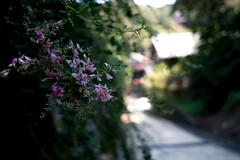Autumn flowers; Bush clover (shinichiro*) Tags: autumn fall japan kamakura sigma september kanagawa crazyshin 2012 foveon  dp2  sigmadp2 20120913sdim9422