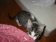 Moonlight Kitten- soooo cute! Big ears and big eyes...