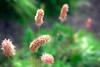 鳥海山 ヒマラヤ虎の尾 ~ himalayan fleece flower (punipuki) Tags: summer flower green nature japan sigma akita 秋田 鳥海山 floralappreciation dp2s tyoukaizan