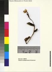 Disperis philippinensis, IT, detail, AMES98948 (filibot.web) Tags: plants asia philippines orchidaceae botany specimens philippinensis disperis filibot