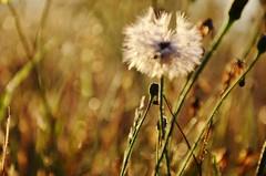 Good Morning (Tinina67) Tags: morning light sun france field garden good bad meadow dandelion tina wayside flckr tinina67
