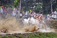 Bull Racing in Kerala - Photo 3 - Heading into the Stands (Anoop Negi) Tags: india sports water sport race rural photography photo track bullock mud photos indian agrarian running kerala bull racing best ox event jockey disaster splash macho rider anoop redbull onam manhood negi adoor spalshing ezee123 celebratino maramady mahotsavam