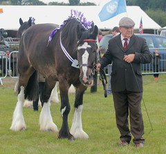 Shire Horse at Orsett Show (messy_beast) Tags: horse shire draft draught orsett