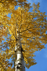aDSC_3619_12899 (Warmphoto) Tags: autumn usa fall colors gold colorado ngc aspen rt72 rt8
