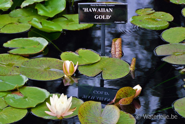 Waterlelie Hawaiian Gold / Nymphaea Hawaiian Gold