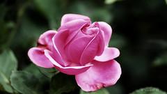 The Joy of Being Alone (Sourav RC) Tags: pink india flower nature rose pinkrose thegalaxy souravrc mygearandme mygearandmepremium hennysgardens flickrstruereflectionlevel1
