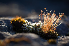 little fortress (dinin) Tags: macro nature strange beautiful beauty closeup estonia alien baltic canon5d makro estland baltikum gametophytes sporophytes altja gametophyt sporophyt