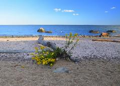 Goldenrod on the beach (hickamorehackamore) Tags: statepark flowers autumn fall beach yellow connecticut blossoms goldenrod ct september driftwood madison 2012 longislandsound hammonasset