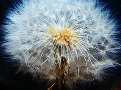 Dandelion (Blue roses,) Tags: white black flower detail close dendelion