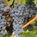2012 Munselle Merlot Harvest 0011