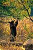 Bear-from-Grand-Teton-National-Park-Eating (Captain Kimo) Tags: bear wildlife wyoming grandtetonnationalpark photomatixpro tonemapping singleexposurehdr moosewilsonroad captainkimo
