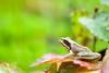 _MG_0416 (Den Boma Files) Tags: fauna dieren kikker amfibieen stropersbos