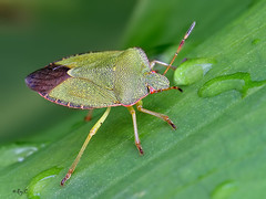 Green shield bug (roychurchill (local patch birder)) Tags: macro garden wildlife devon barnstaple northdevon greenshieldbug canon100mmlismacro roychurchill