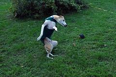 Walk Like an Egyptian (DiamondBonz) Tags: dog pet ball fun dance play hound run whippet spanky