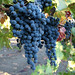 2012 Dilworth Cabernet Harvest 0019