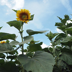 Sunflowers (2) (L'imaGiraphe (en travaux)) Tags: summer france flower fleur yellow jaune garden outdoor jardin squareformat sunflower t extrieur nord tournesol 59 lowangle contreplonge potager formatcarr tournichette