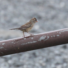 sparrow-mystery-IMG_5375-crop (mandovinnie) Tags: