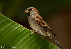 Sparrow on Banana Leaf (Patricia Ware) Tags: california canon backyard flash tripod ngc manhattanbeach housesparrow passerdomesticus supershot thegalaxy allrightsreserved specanimal patriciaware sunrays5
