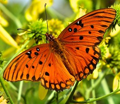 look at me! (mikebfotos) Tags: orange catchycolors butterflycolor butterflieswithflowers butterfliesoftheworld