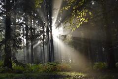 "_DSC4621 Herbstwald in der Morgensonne-Autumn forest in the morning sun (baerli08ww) Tags: autumn mist fog forest germany deutschland nikon nebel herbst wald rheinlandpfalz westerwald ""nikonflickraward mygearandme mygearandmepremium mygearandmebronze mygearandmesilver mygearandmegold mygearandmeplatinum mygearandmediamond rememberthatmomentlevel4 rememberthatmomentlevel1 sunrays5 rememberthatmomentlevel2 rememberthatmomentlevel3 rememberthatmomentlevel9 rememberthatmomentlevel5 rememberthatmomentlevel6 rememberthatmomentlevel10"