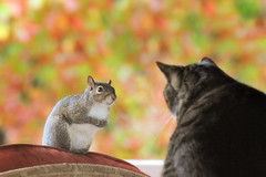 ~If you let me be your friend, I will share my peanuts with you....~ (nushuz) Tags: male cat milo tabby charlie graysquirrel whycantwebefriends squirrelfun beyondwords tootoocute bokehdfoliage lookingateachotherthroughthewindow ifyouletmebeyourfriendiwillsharemypeanutswithyou