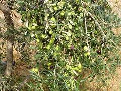 Vie dans une ferme (plantée de jeunes oliviers) dans les environs de Ghar El Melh, nord-est de la Tunisie (Citizen59) Tags: les de dune ghar el september oil arbre septembre ferme olivier dans tunisie vie 2012 jeunes oliviers melh nordest plantée gharelmelh typologie environnements chetoui
