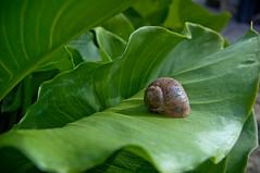 Etxean nago (elelorza) Tags: naturaleza verde green nature snail natura caracol berdea barraskiloa